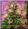 CBD Crew OG Kush Female 5 Marijuana Seeds